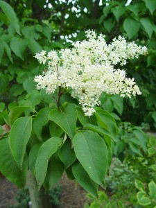 japanese.tree_.lilac.flower.close_