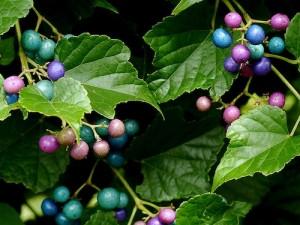 porcelain-berries-lisa-phillips