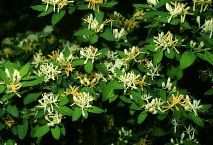 Honeysuckle (Lonicera spp.)