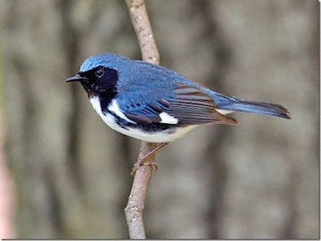 Black-throated Blue Warbler 2aa_thumb-1
